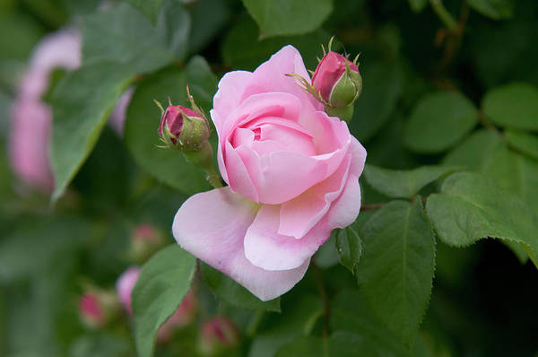 Photograph - English Rose Constance Spry 1 by Jenny Rainbow