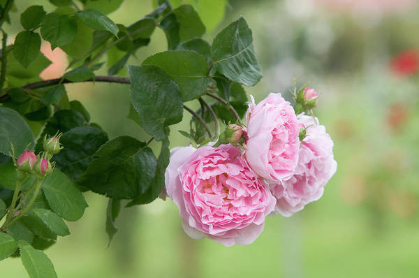 Photograph - English Rose Constance Spry 2 by Jenny Rainbow