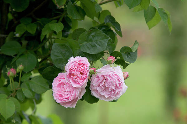 Photograph - English Rose Constance Spry by Jenny Rainbow