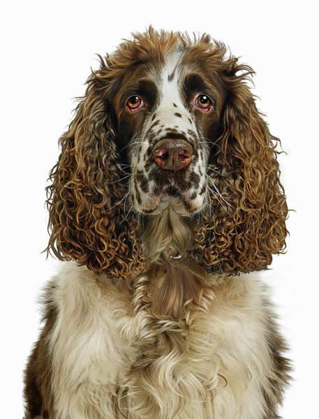 Springer Spaniel Photograph - English Springer Spaniel Dog, Portrait by Gandee Vasan