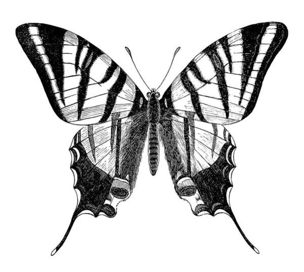 Etching Wall Art - Digital Art - Engraving Of Butterfly Sail Swallowtail by Grafissimo