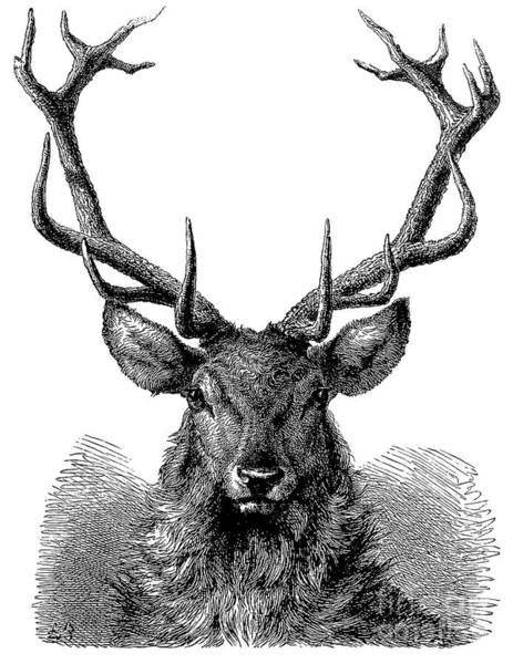 Antlers Drawing - Engraving Of The Head Of A Red Deer, In Which The Antler Is Fully Developed  by English School