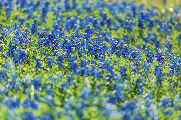 Photograph - Ennis Bluebonnets by Peter Hull