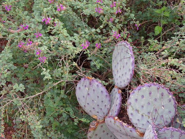 Photograph - Ensconced Prickly Pear 5 by Lynda Lehmann