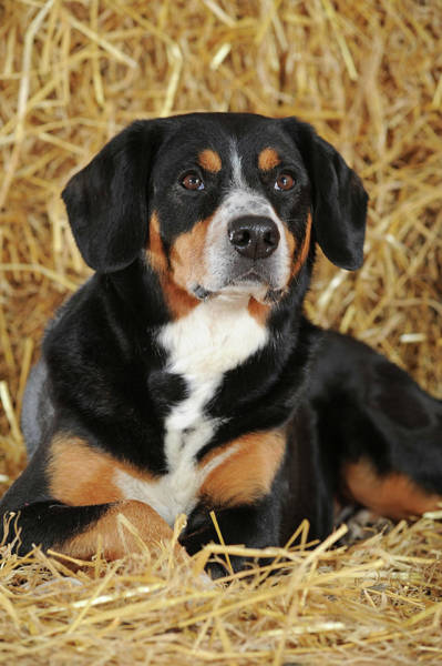 Wall Art - Photograph - Entlebuch Mountain Dog Male Lies In The Straw Studio Shot Austria by imageBROKER - Anni Sommer