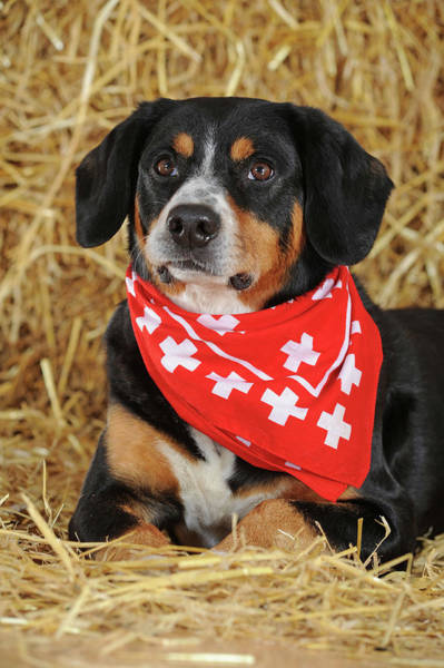 Wall Art - Photograph - Entlebuch Mountain Dog Male Lying In The Straw With Scarf Studio Shot Austria by imageBROKER - Anni Sommer