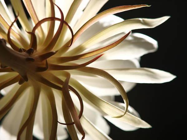 Break Up Photograph - Epiphyllum by Last Broken Flash Of Love Still In The Camera