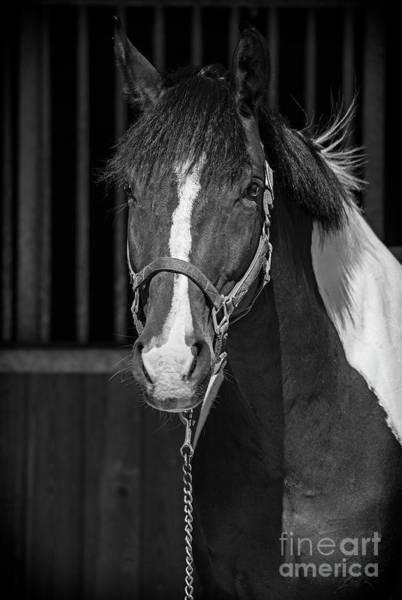 Photograph - Equine Noir by Nina Stavlund