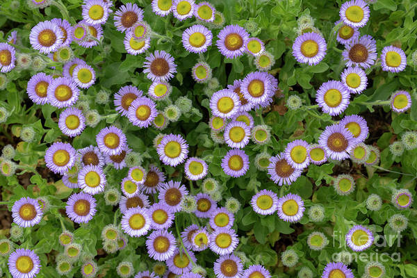 Wall Art - Photograph - Erigeron Glaucus Roger Raiche From Above Pattern Landscape by Tim Gainey
