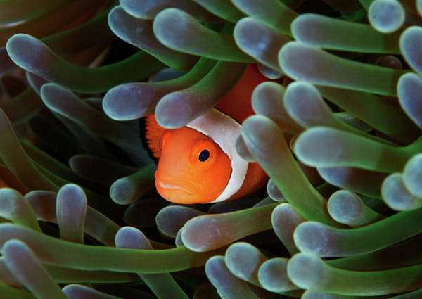 Anemonefish Photograph - Eternal Theme by Nature, Underwater And Art Photos. Www.narchuk.com