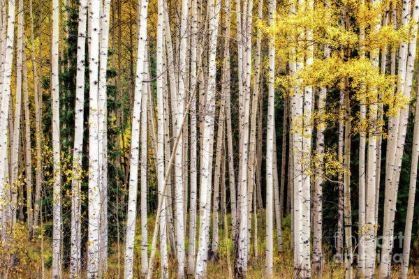 Photograph - Ethereal Forest by Jim Garrison