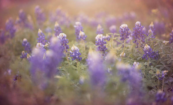 Photograph - Ethereal Texas Bluebonnets by Andrea Anderegg