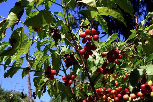 Photograph - Ethiopian Coffee Beans, Lake Tana by Aidan Moran