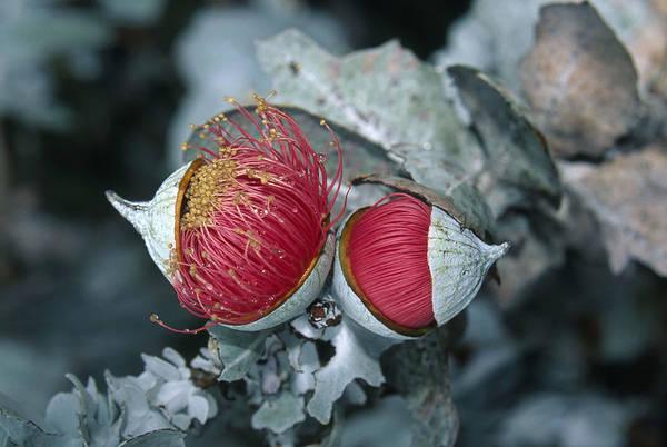 Wall Art - Photograph - Eucalyptus Flower by David Hosking