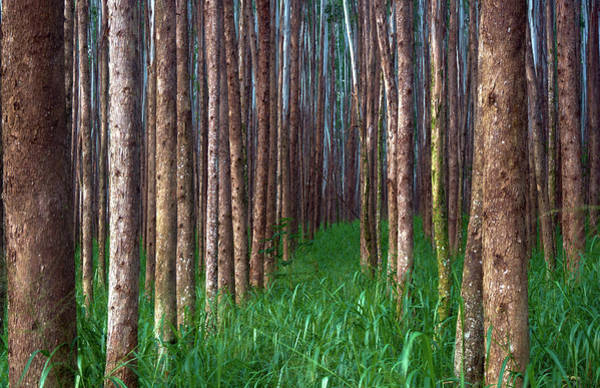 Photograph - Eucalyptus Forest Pathway by Christopher Johnson