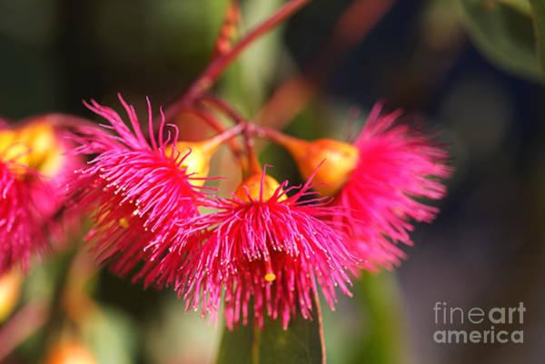 Photograph - Eucalyptus Its Living Bells by Joy Watson