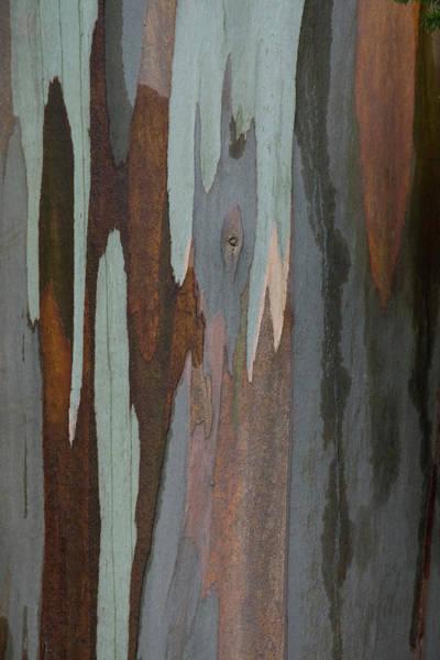 Fort Bragg Wall Art - Photograph - Eucalyptus Tree Bark by Darrell Gulin