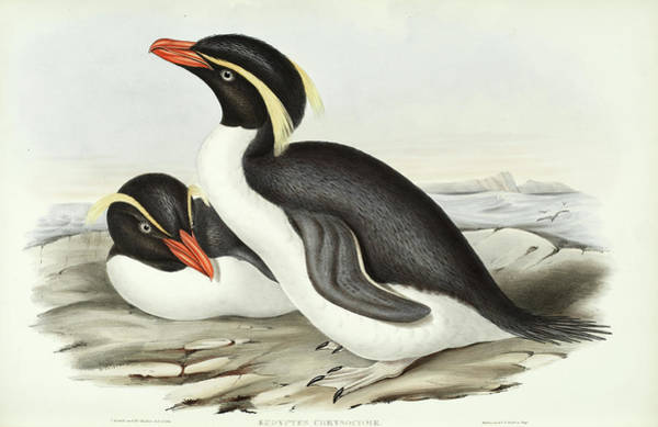 Wall Art - Painting - Eudyptes Chrysocome by John Gould