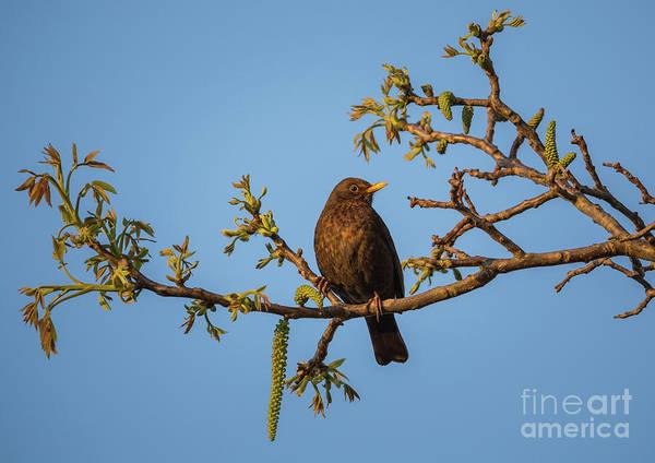Photograph - Eurasian Blackbird by Eva Lechner