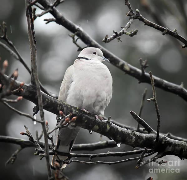 Photograph - Eurasian Collared Dove by Kerri Farley