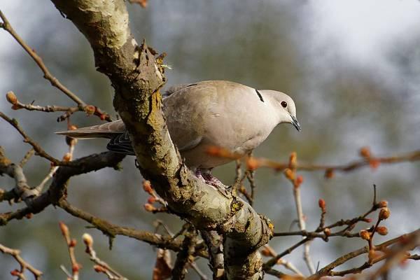 Photograph - Eurasian Collared-dove by KJ Swan