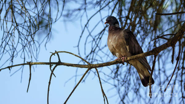 Photograph - Eurasian Collared-dove Streptopelia Decaocto by Pablo Avanzini