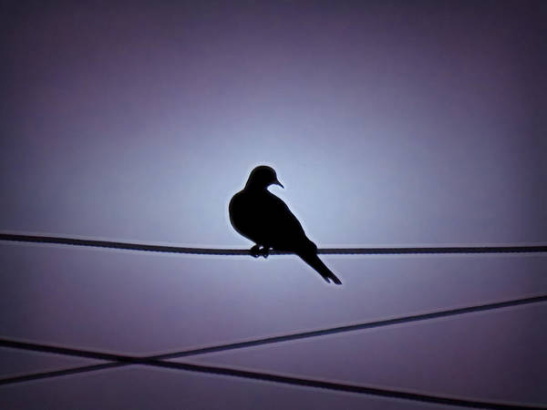Photograph - Eurasian Dove Silhouette by Judy Kennedy