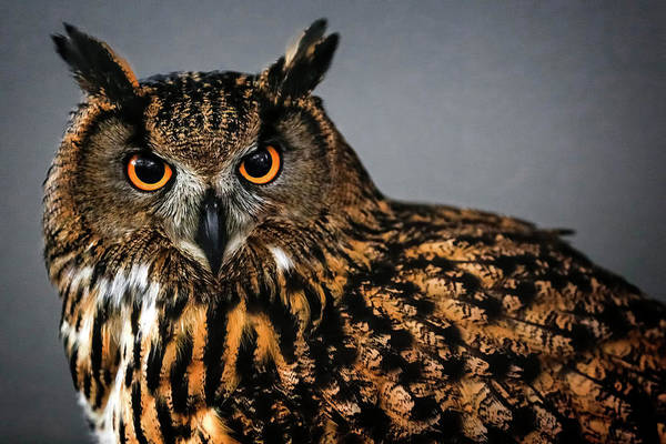 Photograph - Eurasian Eagle Owl Attitude by Wes and Dotty Weber