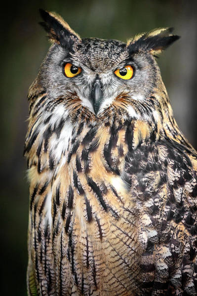 Photograph - Eurasian Eagle Owl Beauty by Wes and Dotty Weber