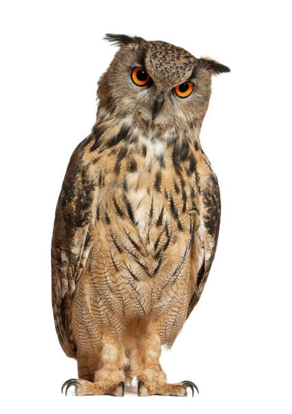 Eagle Photograph - Eurasian Eagle-owl Bubo Bubo by Life On White