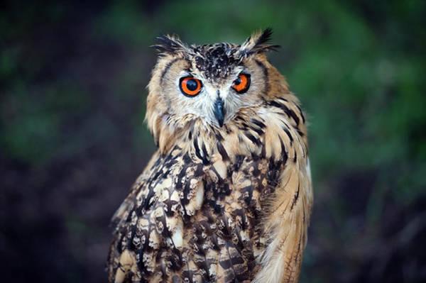 Bird Photograph - Eurasian Eagle-owl Bubo Bubo by Marcin Rozpedowski