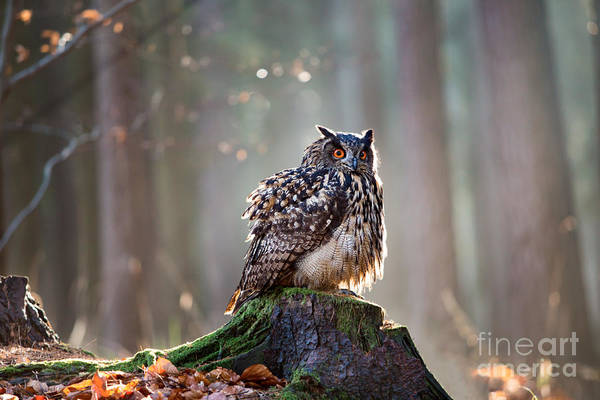 Wall Art - Photograph - Eurasian Eagle Owl Bubo Bubo Sitting On by Vladimir Hodac