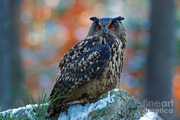 Profile Wall Art - Photograph - Eurasian Eagle Owl, Bubo Bubo, Sitting by Ondrej Prosicky