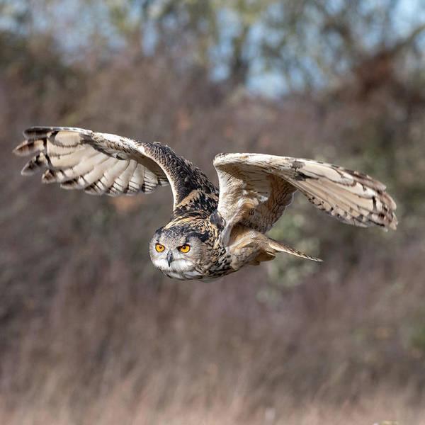 Photograph - Eurasian Eagle Owl Flying by Mark Hunter