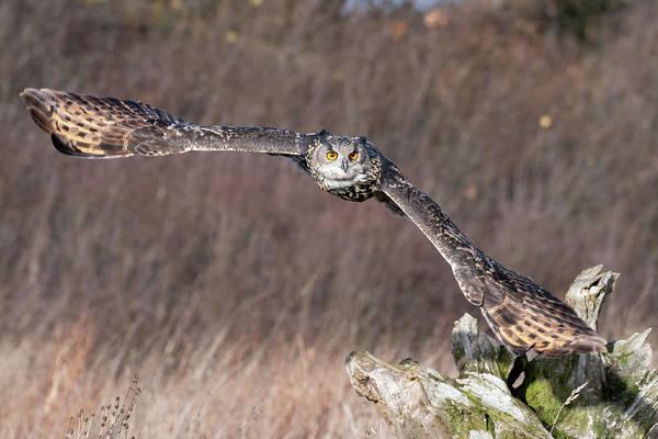 Photograph - Eurasian Eagle Owl Flying Over A Log by Mark Hunter