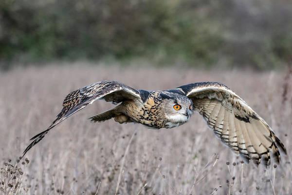 Eurasian Eagle Owl In Flight Art Print