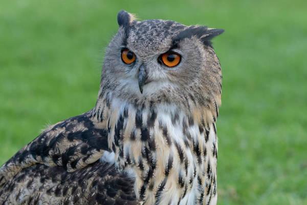 Photograph - Eurasian Eagle Owl Portrait by Mark Hunter
