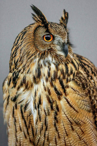 Photograph - Eurasian Eagle Owl Profile by Wes and Dotty Weber