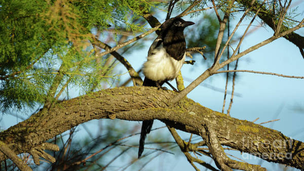 Photograph - Eurasian Magpie Pica Pica Cadiz Spain by Pablo Avanzini