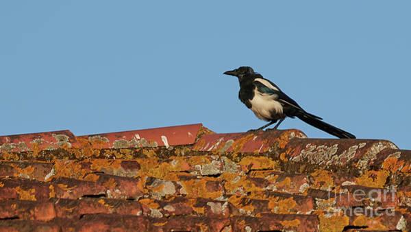 Photograph - Eurasian Magpie Tuddus Merula On Tiled Roof by Pablo Avanzini