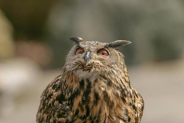 Photograph - Eurasian Owl by Ronnie and Frances Howard