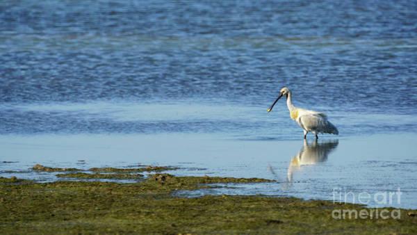 Photograph - Eurasian Spoonbill Cadiz Bay Natural Park Salinas Dolores Spain by Pablo Avanzini