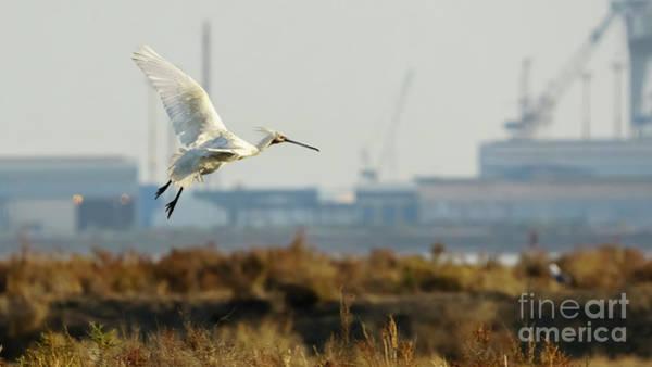 Photograph - Eurasian Spoonbill Platalea Leucorodia Flying by Pablo Avanzini