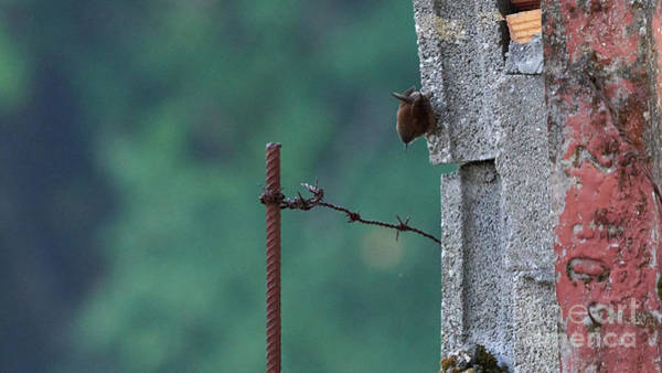 Photograph - Eurasian Wren Troglodytes Troglodytes by Pablo Avanzini