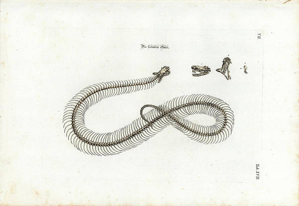 Art Print featuring the drawing European Adder Skeleton by Johann Daniel Meyer