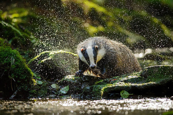 Wall Art - Photograph - European Badger Shaking And Splashing by Stanislav Duben