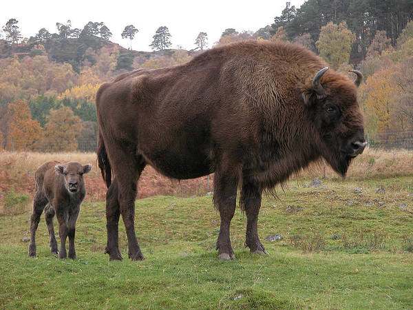Cow Photograph - European Bison With Calf by Soopysue