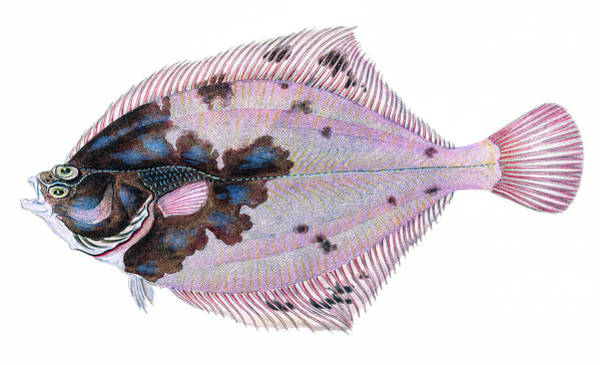 Drawing - European Flounder  by David Letts