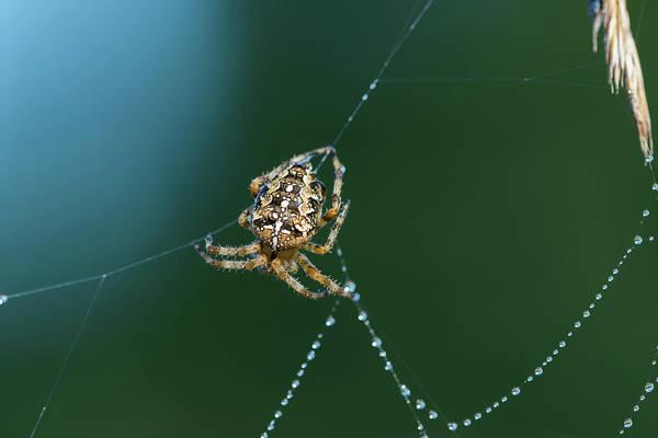 Photograph - European Garden Spider On Web by Robert Potts