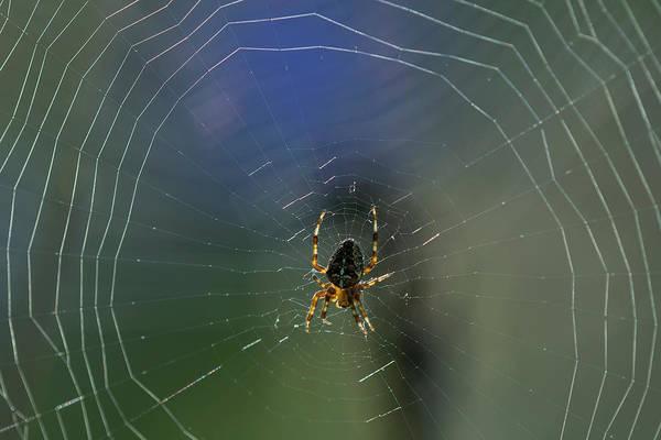 Photograph - European Garden Spider by Robert Potts